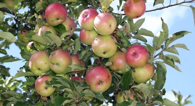 apple-frming-in-kenya